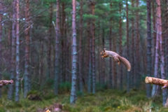 红松鼠中型松鼠寻常在中间跃迁 免版税库存照片
