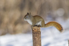 红松鼠冬天 库存图片