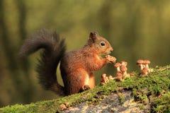 红松鼠和伞菌 库存图片