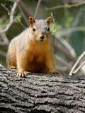 红松鼠在南得克萨斯 免版税库存照片