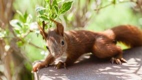 红松鼠在森林里,看待,殷勤,Tarzan 免版税库存照片