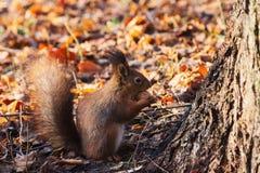 红松鼠在秋天森林(寻常的中型松鼠里) 库存图片