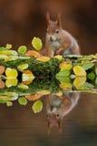 红松鼠在秋天 免版税库存照片
