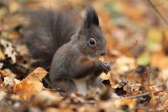 红松鼠在秋天 免版税库存图片
