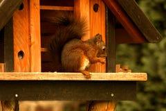 红松鼠在鸟房子里 免版税库存照片
