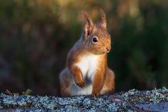 红松鼠坐地面的中型松鼠寻常 免版税库存图片