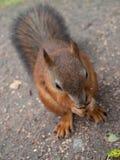 红松鼠坐地面 库存照片