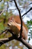 红松鼠坐树枝 免版税图库摄影