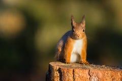 红松鼠坐树桩的中型松鼠寻常 免版税图库摄影