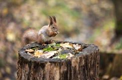红松鼠坐树桩 免版税库存照片