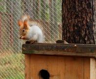 红松鼠坐的和裂化的种子在她的家 免版税库存图片
