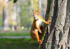 红松鼠坐结构树 免版税库存图片