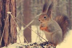 红松鼠坐饲养者 库存照片
