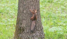 红松鼠坐结构树 图库摄影
