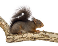 红松鼠或欧亚红松鼠,寻常的中型松鼠,身分 免版税库存图片