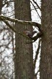 红松鼠环境照片在树的 免版税库存图片