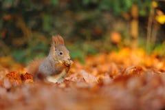 红松鼠用在叶子的榛子 免版税图库摄影