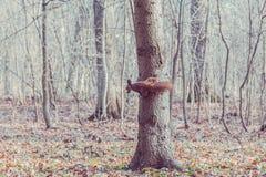红松鼠用在树(寻常的中型松鼠的核桃) 图库摄影