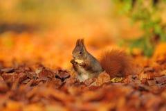 红松鼠用在橙色叶子的花生 免版税库存照片