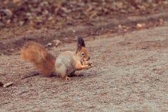 红松鼠用核桃 免版税库存图片