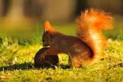 红松鼠用椰子 免版税图库摄影