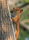 红松鼠结构树 免版税图库摄影