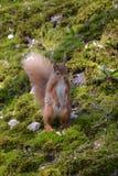 红松鼠身分 免版税库存照片