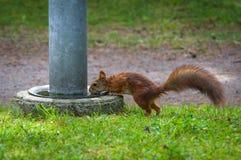 红松鼠饮用水 库存照片