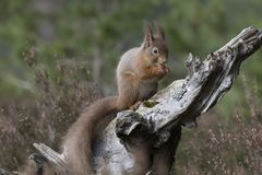 红松鼠,寻常的中型松鼠,坐和走沿杉木分支在石南花附近在cairngorms国民,苏格兰森林里  免版税库存照片