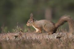 红松鼠,寻常的中型松鼠,坐和走沿杉木分支在石南花附近在cairngorms国民,苏格兰森林里  库存照片