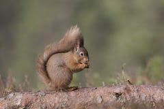 红松鼠,寻常的中型松鼠,坐和走沿杉木分支在石南花附近在cairngorms国民,苏格兰森林里  库存图片