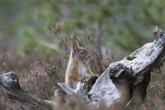 红松鼠,寻常的中型松鼠,坐和走沿杉木分支在石南花附近在cairngorms国民,苏格兰森林里  免版税库存图片