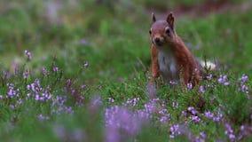 红松鼠,寻常的中型松鼠,接近吃坚果在cairngorms NP,苏格兰的紫色,开花的石南花附近,威严 股票录像