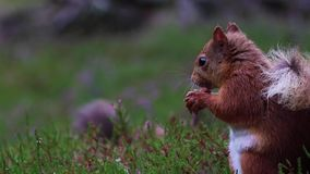红松鼠,寻常的中型松鼠,接近吃坚果在cairngorms NP,苏格兰的紫色,开花的石南花附近,威严 股票视频