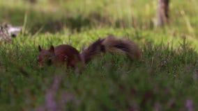 红松鼠,寻常的中型松鼠,搜寻为和吃在石南花地板上的坚果在cairngorm NP的晴朗的7月,苏格兰 影视素材