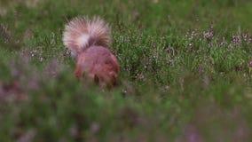 红松鼠,寻常的中型松鼠,搜寻为和吃在石南花地板上的坚果在cairngorm NP的晴朗的7月,苏格兰 股票录像