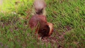 红松鼠,寻常的中型松鼠,搜寻为和吃在石南花地板上的坚果在cairngorm NP的晴朗的7月,苏格兰 股票视频