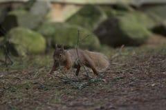 红松鼠,寻常的中型松鼠,狂放的赛跑,开会,飞跃,在杉树,地面在冬天, cairngorm国家公园 库存图片