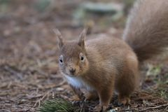 红松鼠,寻常的中型松鼠,狂放的赛跑,开会,飞跃,在杉树,地面在冬天, cairngorm国家公园 免版税库存照片