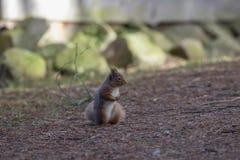 红松鼠,寻常的中型松鼠,狂放的赛跑,开会,飞跃,在杉树,地面在冬天, cairngorm国家公园 免版税库存图片