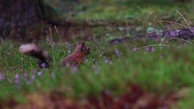 红松鼠,寻常的中型松鼠,赛跑,跳跃,贮藏坚果,食物amongs紫色开花的石南花在威严期间在cairngor 股票视频