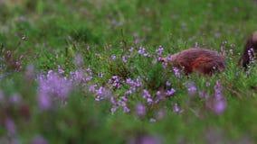 红松鼠,寻常的中型松鼠,赛跑,跳跃,贮藏坚果,食物amongs紫色开花的石南花在威严期间在cairngor 股票录像
