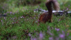 红松鼠,寻常的中型松鼠,赛跑,跳跃,贮藏坚果,食物amongs紫色开花的石南花在威严期间在cairngor 影视素材