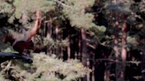 红松鼠,寻常的中型松鼠,跳跃在空中  在松林内的一晴朗的7月天在cairngorm NP,苏格兰 股票录像