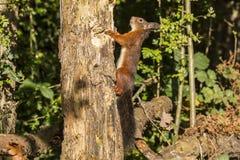 红松鼠,寻常的中型松鼠 一个毛茸和滑稽的动物 库存照片