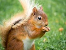 红松鼠,湖区,英国 图库摄影