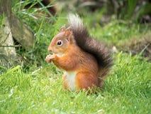 红松鼠,湖区,英国 免版税库存照片