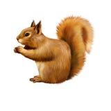 红松鼠,寻常的中型松鼠,坐的吃 免版税库存图片