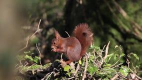 红松鼠,寻常的中型松鼠,成人吃榛子,诺曼底在法国, 影视素材