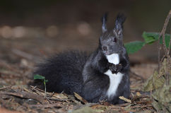 红松鼠,寻常的中型松鼠 免版税库存图片